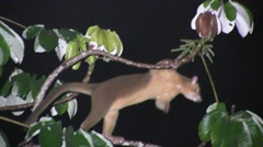 Kinkajou rest in tree looking around while fog is rising 7 Stock Footage