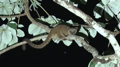 Kinkajou rest in tree 2 Stock Footage