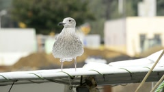 Young herring gull on a boat Stock Footage
