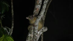 Kinkajou sit in tree sniffing 2 Stock Footage