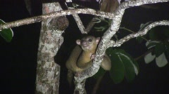 Kinkajou sit in tree sniffing 4 Stock Footage