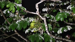 Kinkajou sit in tree sniffing 5 Stock Footage