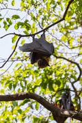 Flying foxes hanging on trees. Stock Photos