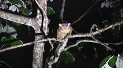 Kinkajou walk in tree looking for food 3 Stock Footage