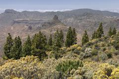 Stock Photo of View from the trail to the Roque Nublo blooming vegetation yellow flowering