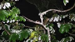 Kinkajou walk in tree looking for food 5 Stock Footage