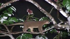 Kinkajou walk in tree looking for food 6 Stock Footage