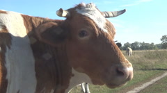 Portraits of cows on the road - stock footage