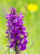Marsh or spotted orchid Dactylorhiza Styria Austria Europe - stock photo