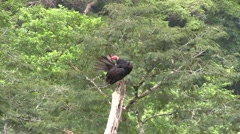 Turkey Vulture clean feathers 2 Stock Footage