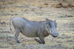 Stock Photo of Warthog Phacochoerus africanus feeding South Luangwa National Park Zambia Africa