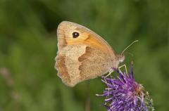 Meadow brown Maniola jurtina drinking nectar from greater knapweed Centaurea - stock photo