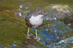 White throated dipper Cinclus cinclus young bird not yet fully coloured Stock Photos