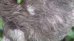 Brown-throated three-toed Sloth closeup of back Stock Footage