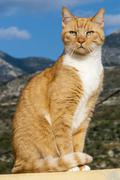 Tabby male cat sitting in elegant pose in front of a mountain scenery Agios Stock Photos