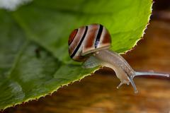 Whitelipped snail Cepaea hortensis with brown stripes on a leaf Switzerland - stock photo