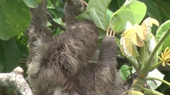 Brown-throated three-toed Sloth feeding 4 Stock Footage