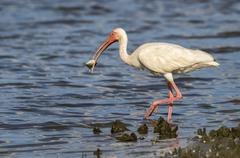American white ibis Eudocimus albus eating fish Galveston Texas USA North - stock photo