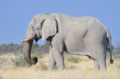 African Elephant Loxodonta africana adult male feeding Etosha National Park Stock Photos