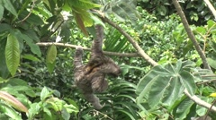 Brown-throated three-toed Sloth hangs in branch 4 Stock Footage