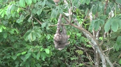 Brown-throated three-toed Sloth scratching himself 3 Stock Footage