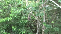 Brown-throated three-toed Sloth scratching himself 4 Stock Footage