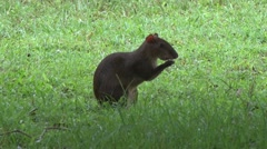 Central American Agouti feeding on lawn 2 Stock Footage