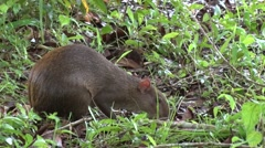 Central American Agouti feeding 3 Stock Footage