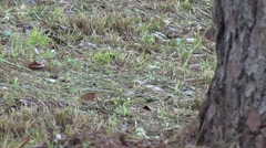 Central American Agouti foraging 2 Stock Footage
