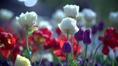 Spring bed with red white and violet tulips Stock Footage