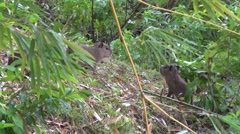 Lesser Capybara babies on the edge of swamp Stock Footage