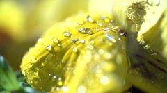 Dewdrops on a yellow flower in slowmotion Stock Footage