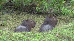 Stock Video Footage of Lesser Capybara family in swamp 5