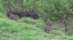 Stock Video Footage of Lesser Capybara family walks along the swamp 2