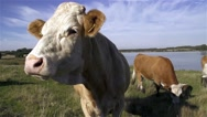 Stock Video Footage of Very calm cow in slow motion