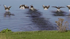 Wild geese about to land - slow motion clip Stock Footage