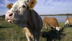 Slow motion close up on a cow head - showing the tonque Stock Footage