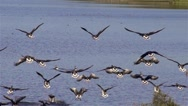 Stock Video Footage of Wild geese flying - slow motion clip