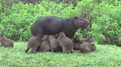 Stock Video Footage of Lesser Capybara female suckle babies 3