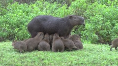 Lesser Capybara female suckle babies 4 Stock Footage