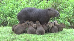 Lesser Capybara female suckle babies 5 Stock Footage