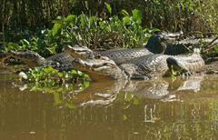 Yacare caimans Caiman Yacare Caiman crocodilus yacare lying on the shore in the Stock Photos