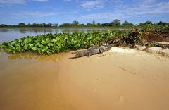 Yacare caiman Caiman Yacare Caiman crocodilus yacare lying on a sand bank - stock photo
