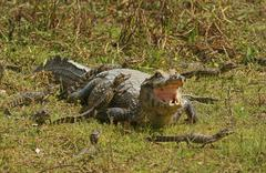 Yacare caiman Caiman Yacare Caiman crocodilus yacare female with hatchlings Stock Photos