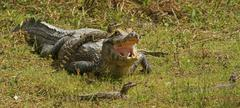 Yacare caiman Caiman Yacare Caiman crocodilus yacare female with hatchlings - stock photo