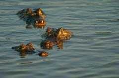 Yacare caimans Caiman Yacare Caiman crocodilus yacare lurking in the water Stock Photos