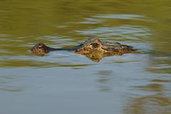 Yacare caiman Caiman Yacare Caiman crocodilus yacare lurking in the water Stock Photos