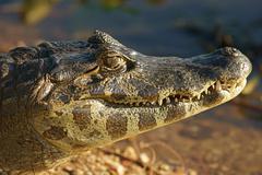 Yacare caiman Caiman Yacare Caiman crocodilus yacare portrait Pantanal Brazil - stock photo
