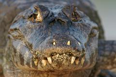 Yacare caiman Caiman Yacare Caiman crocodilus yacare portrait Pantanal Brazil Stock Photos