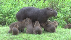 Lesser Capybara female suckle babies 8 Stock Footage